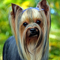 What a face? Yorkie  021