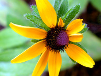 InSightful Black Eye Susan