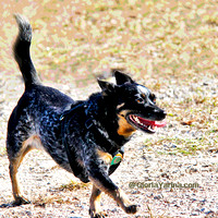 "mutt, ""mixed breed"", ""cattle dog mix"", ""aussie mix"", ""dog park"""