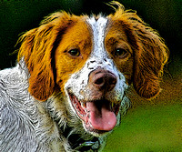 Rescued Brittany Dogs