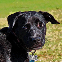 "dog, ""black dog"", ""lab pit pull mix"", ""dog park"""