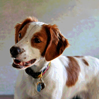 Lady, a French Brittany